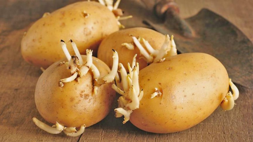 what to do with sprouted potatoes