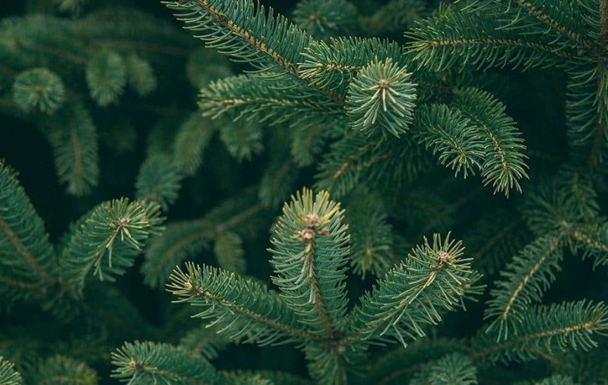 can you eat pine needles